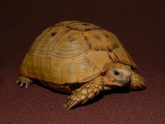 Golden Greek Tortoises By The Turtle Source