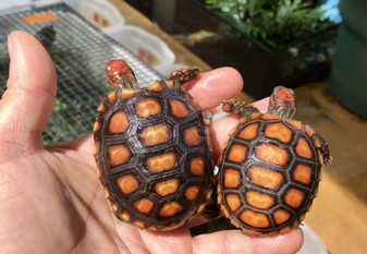 The Best High Orange Cherry Headed Red Foot Tortoise Hatchlings For Sale