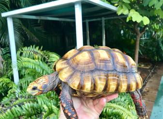 Adult Platinum Yellow Leucistic Red Foot Tortoise