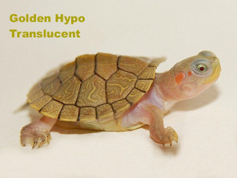 Hypo Translucent Red Eared Slider(Golden Phase) Side View