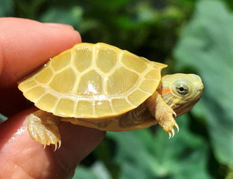 Best Paradox-Lime Phase Albino Red Eared Slider
