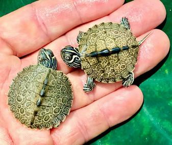 Calico Map Turtles