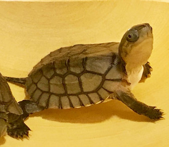 Asian Yellow Pond Turtles For Sale