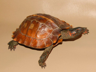 Best Spiny Turtle