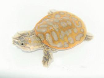 Best Clown Florida Soft Shelled Turtle