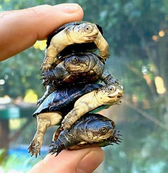 African Dwarf Mud Turtles