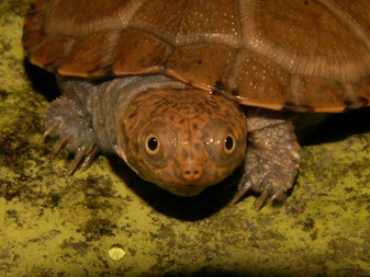 East African Side Necked Turtle Bred By The Turtle Source