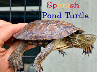 Spanish Pond Turtles for sale