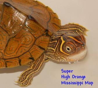 Super High Orange Mississippi Map Hatchlings