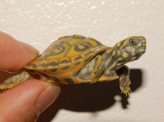 Best Southern River Cooter Turtle
