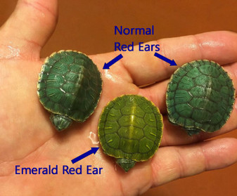 Emerald Red Eared Sliders