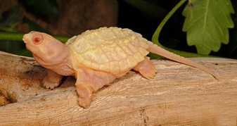 Albino Common Snapping Turtle Side View