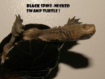 Best Black Spiny-Necked Swamp Turtles For Sale