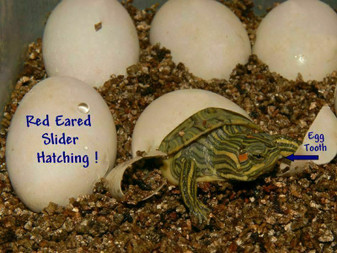 Best Red Eared Sliders for sale - hatching babies.
