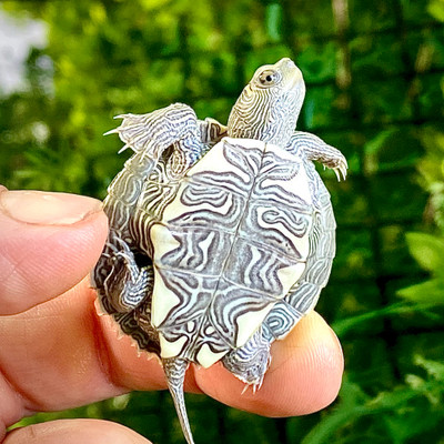 Turtles that stay small. How about the Mississippi Map Turtle?