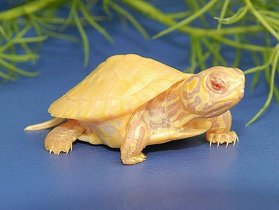 Albino Yellow Bellied Slider on blue surface with green plant in background