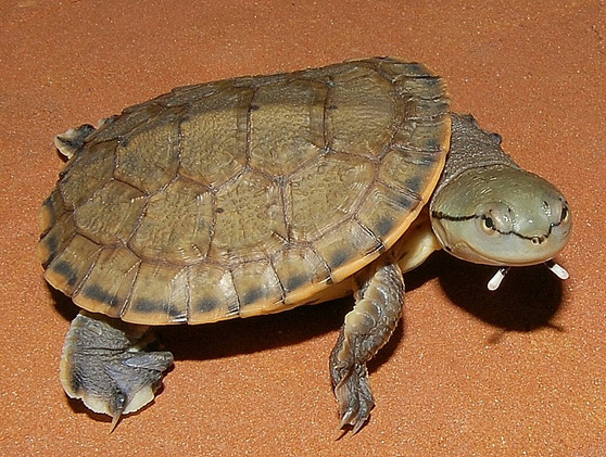 Argentine Side Necked Turtles for sale