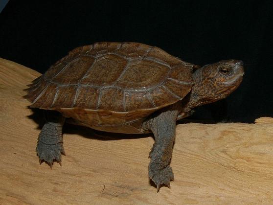Asian Golden Leaf Turtles for sale