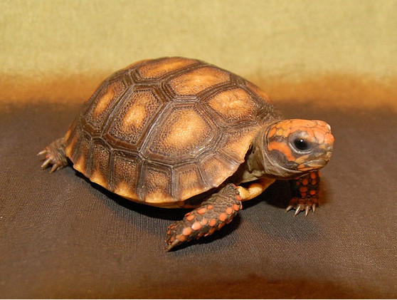 Bolivian Cherry Headed Red Footed Tortoises for sale