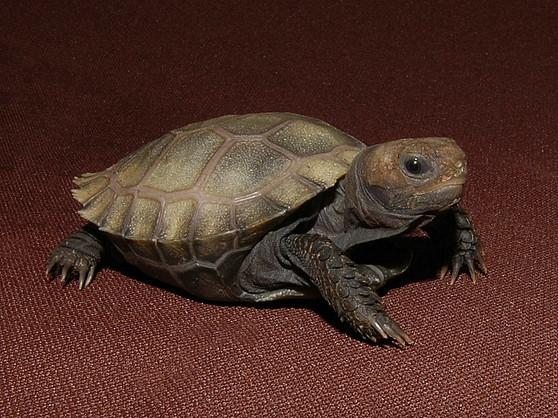 Burmese Brown Mountain Tortoises for sale