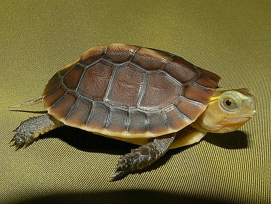 Chinese Golden Box Turtle For Sale