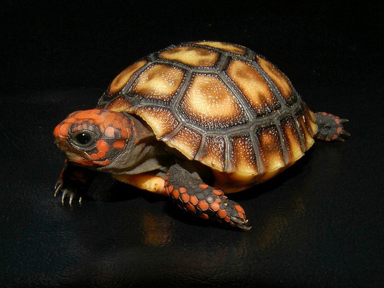 Cherry Head Red Footed Tortoises for sale