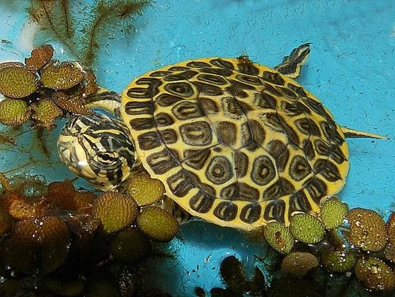 Florida Chicken Turtles for sale