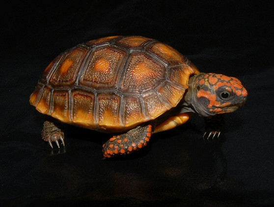 High Color Red Footed Tortoises for sale