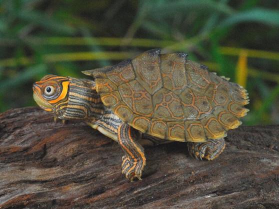High Orange Mississippi Map Turtles for sale