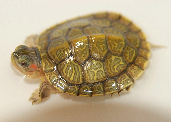Hypo Translucent Albino Red Eared Sliders for sale