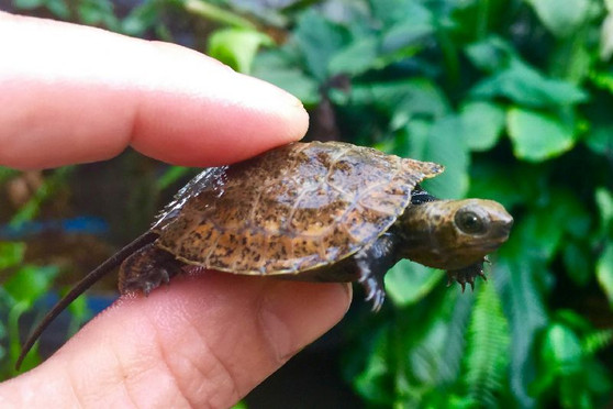 Japanese Wood Turtles for sale