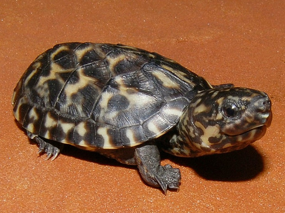 Best Mexican Giant Musk Turtles For Sale
