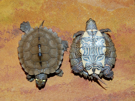 Ouachita Map Turtle Hatchlings  for sale
