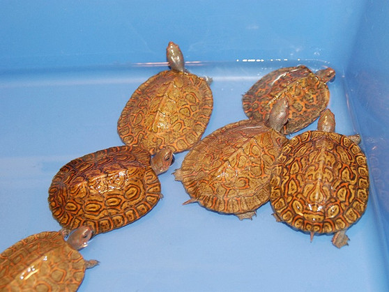 Best Painted Wood Turtle Hatchlings for sale