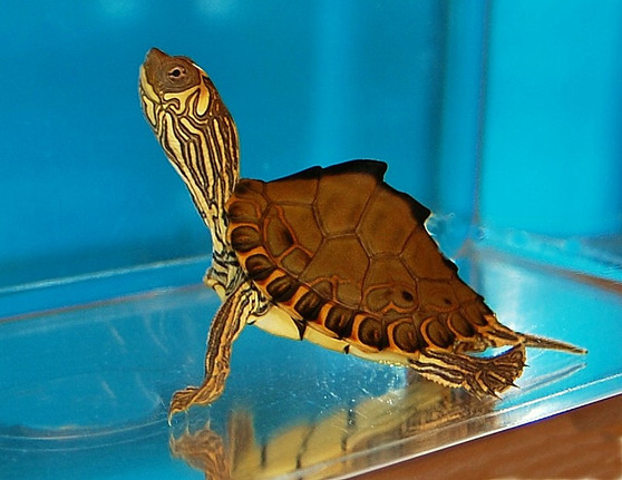 Pearl River Map Turtles for sale