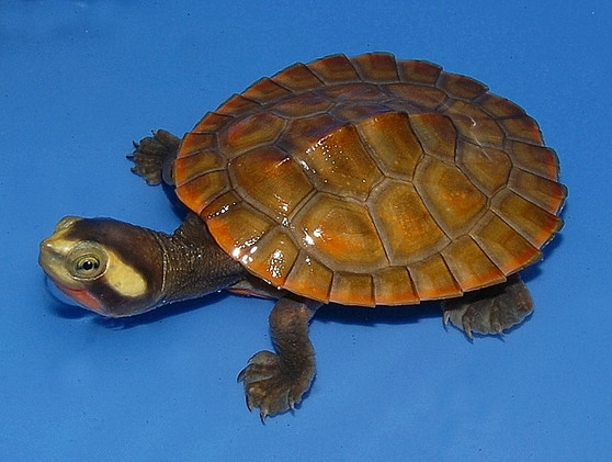 Pink Belly Side Necked Turtles for sale
