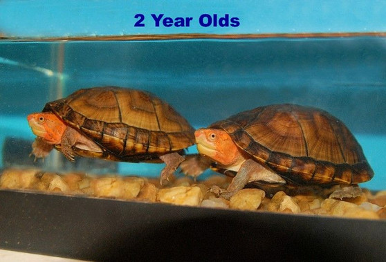 Red Cheeked Mud Turtles for sale