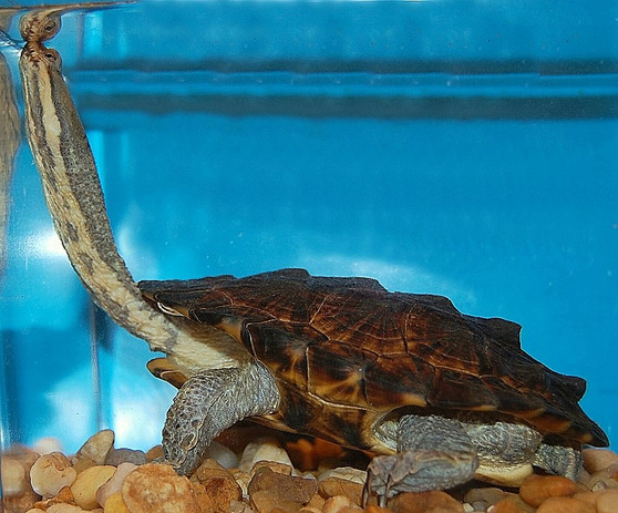 South American Snake Necked Turtles for sale
