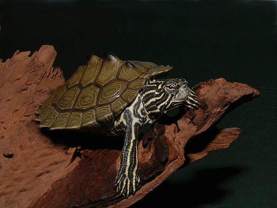 Southern Black Knobbed Map Turtles for sale
