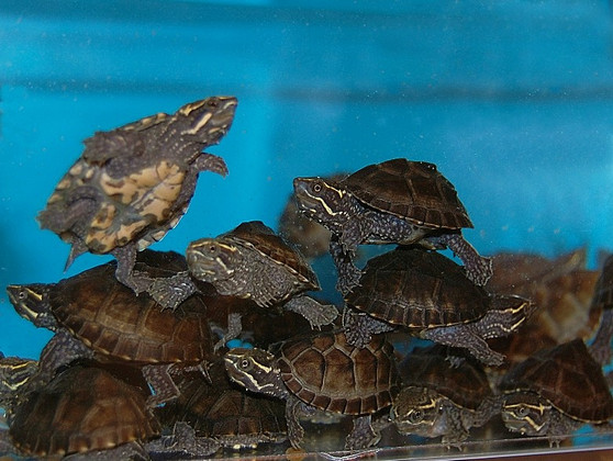 Stinkpot Musk Turtles for sale