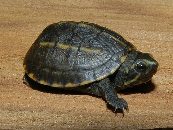 Three Striped Mud Turtles for sale