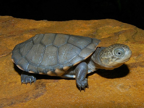 West African Side Necked Turtles for sale