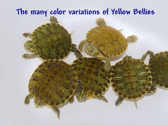 Yellow Bellied Slider
