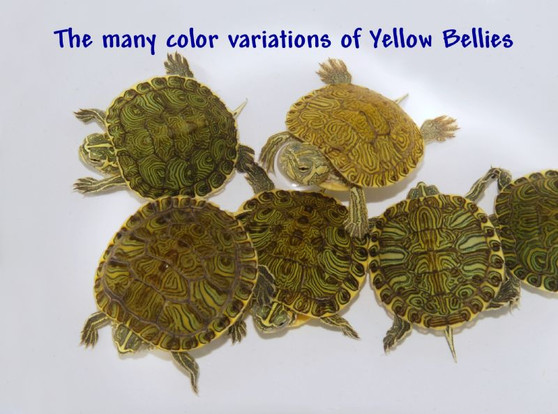 Hatchling Yellow Bellied Sliders