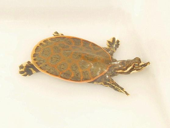 High Orange Florida Softshelled Turtles for sale