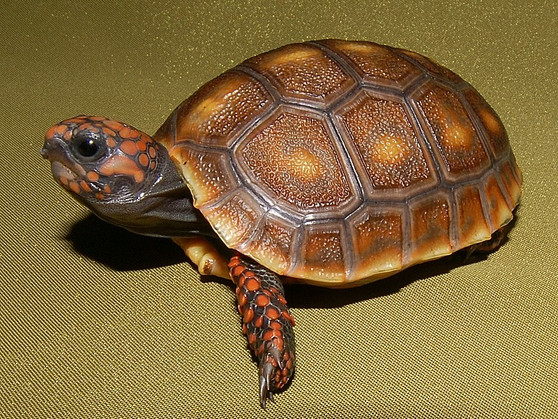 Honey Colored Red Footed Tortoises for sale