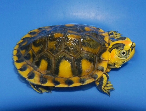Hypo Pastel Yellow Bellied Sliders for sale