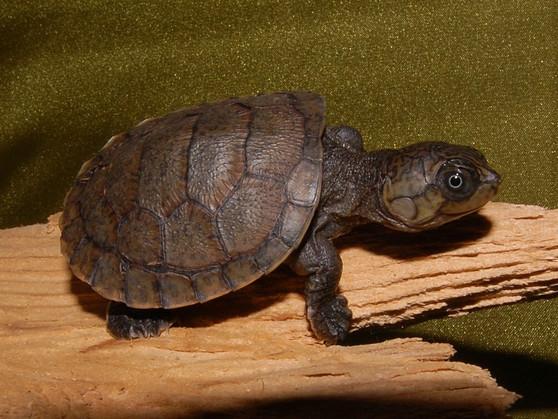 Madagascar Big Headed Side Necked Turtles for sale