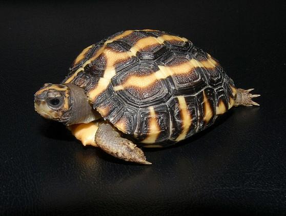 Madagascar Flat Shelled Spider Tortoises for sale