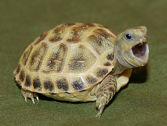Young Russian Tortoise with mouth open